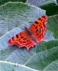 A Comma Butterfly  Takes a Fleeting Rest on a Fig Leaf