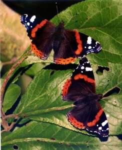 Red Admirals Basking in Sunshine on Plum Tree