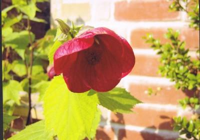 The Little Red Flower (J)